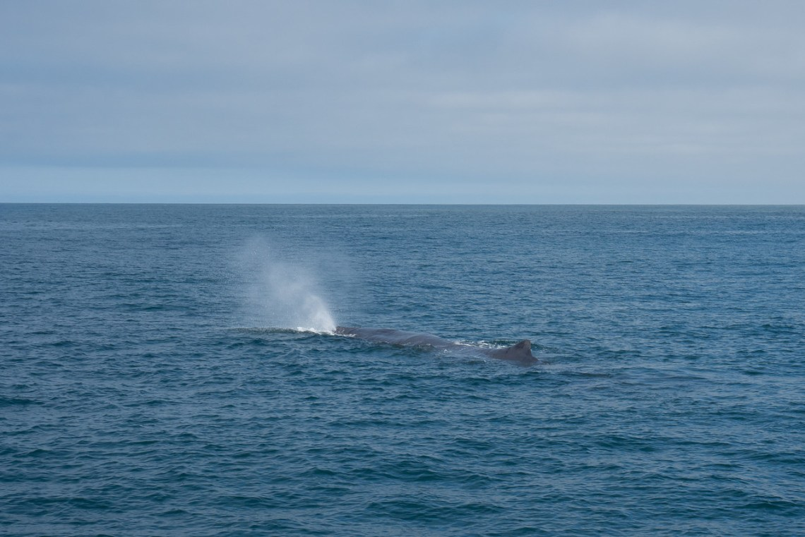 Sperm whale on the surface off the coast of Kaikoura