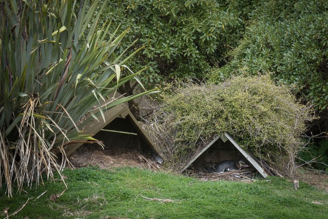 Yellow-eyed penguin nests