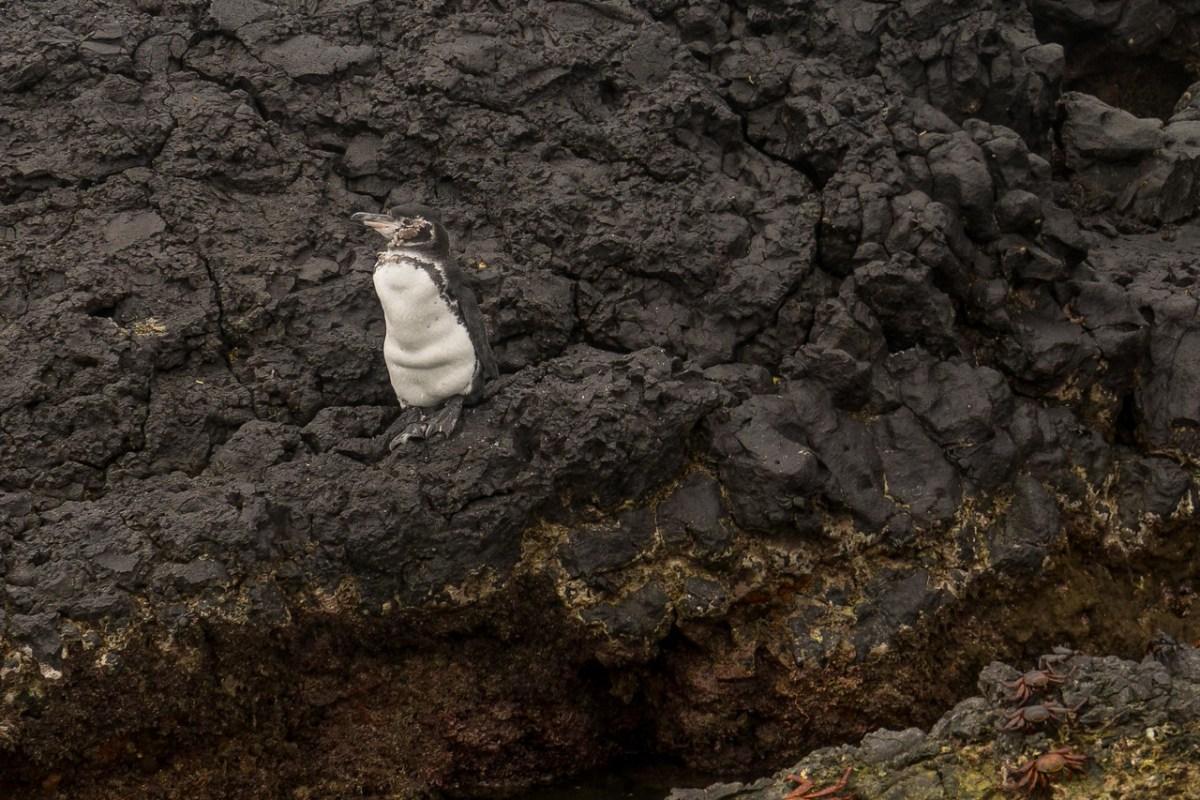 galápagos pingviner
