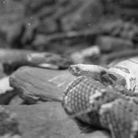 45 12-10-2012 Riverbanks Zoo and Garden in Black and White-Snake