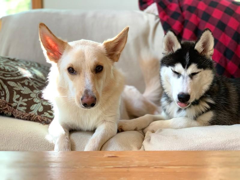 husky and shepherd