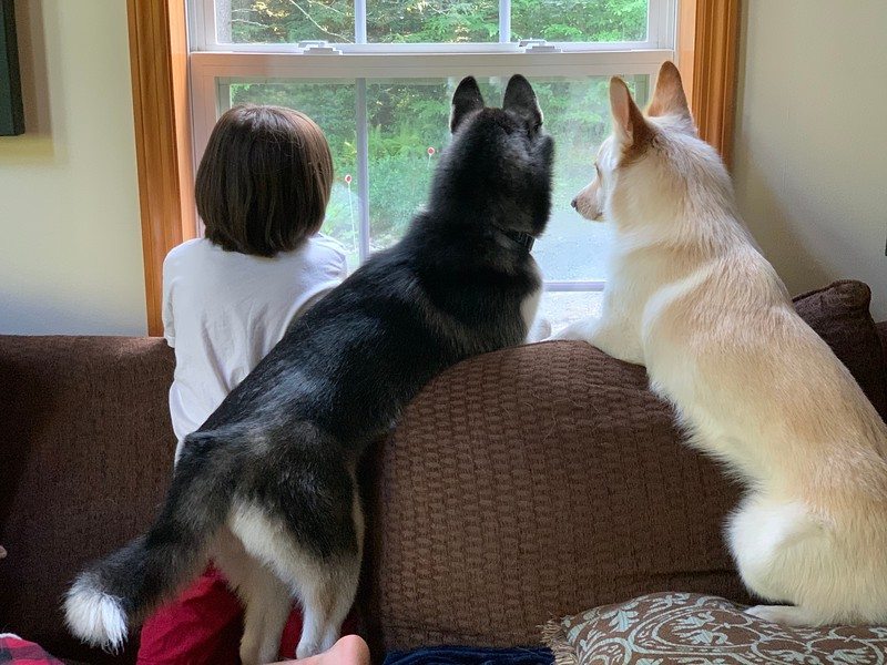 dogs watching through window
