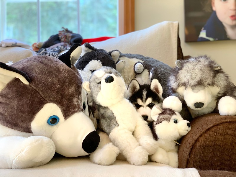 Husky puppy in a pile of Husky stuffed animals