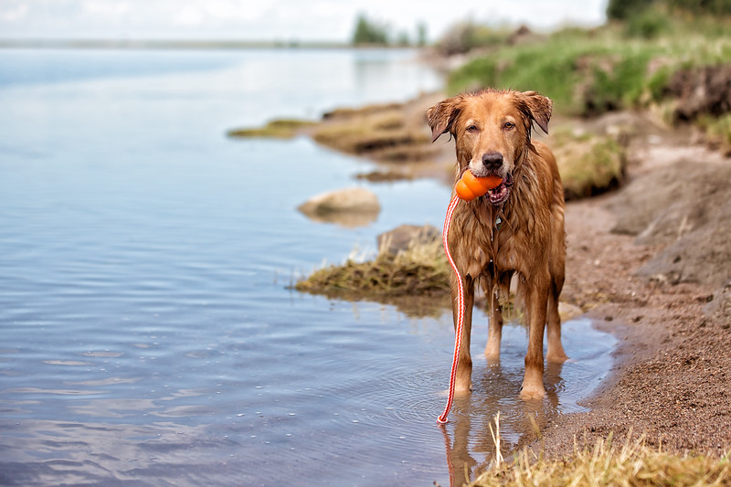 Dog on shore holding a toy