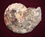 #8134 Mammites nodosoides Ammonite