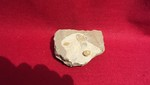 #4061 Ophiurid (with one trilobite Ellipsocephalidae spp. associated)