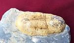 #1548 Ectillaenus giganteus (from Portugal)