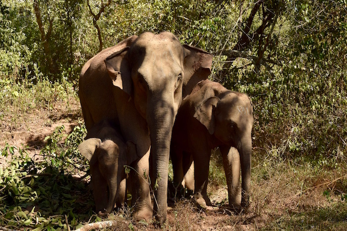 elephants at Mahouts Elephant Foundation in Thailand