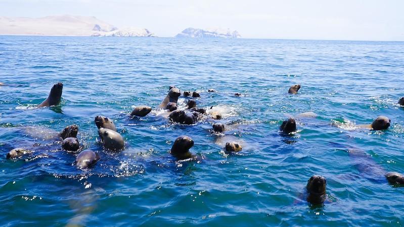 sea lions in Peru