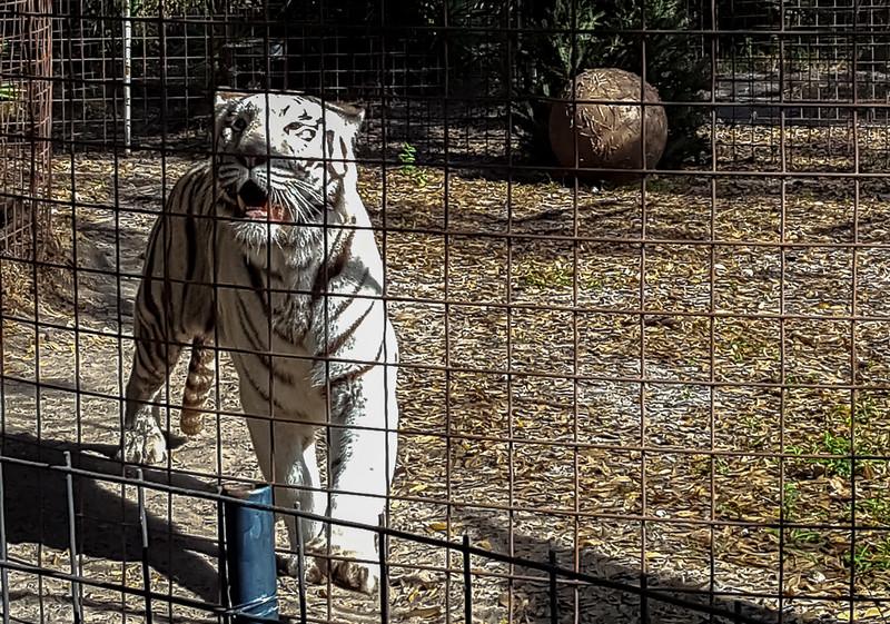 Big Cat Rescue in Tampa, Florida