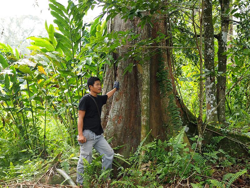 Kopi o durian tree