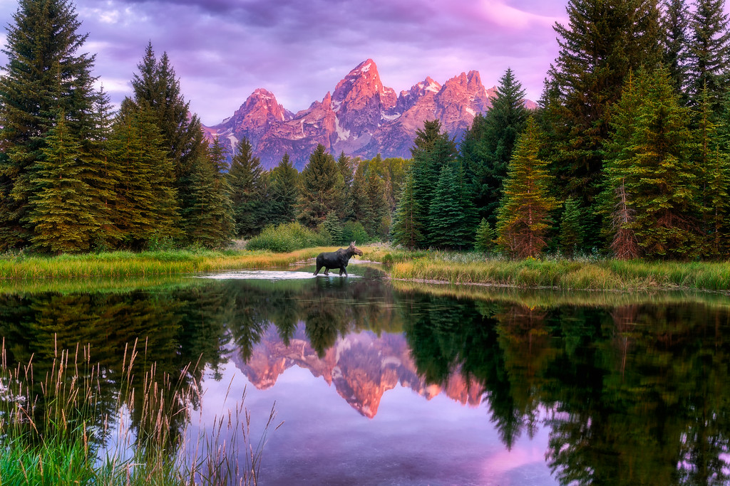 2019 in Pictures Moose at Schwabacher Landing Grand Teton National Park