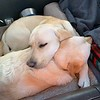 Pups snoozing in the car on the drive to Hart Mountain Antelope Refuge.