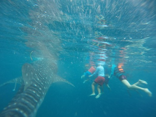 A whale shark swims past awestruck tourists in Oslob