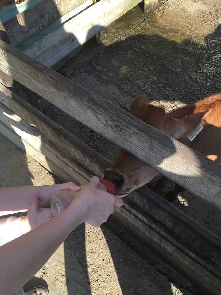 Milk Feeding at Flying Cow Ranch