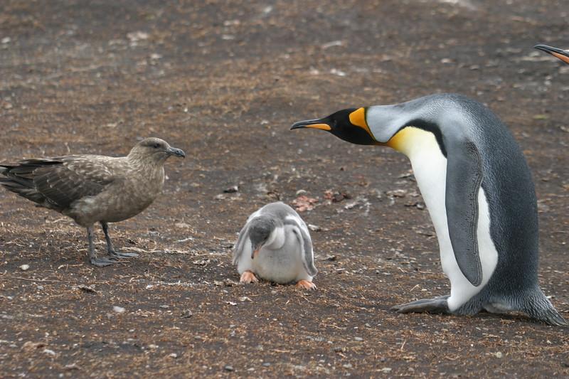 金岛群岛——企鹅和企鹅