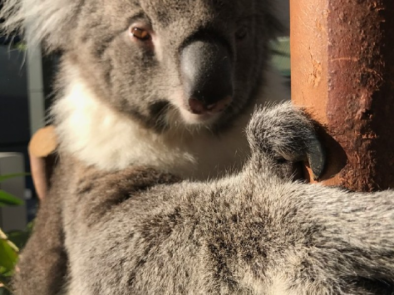 Koalas at Caversham Wildlife Park