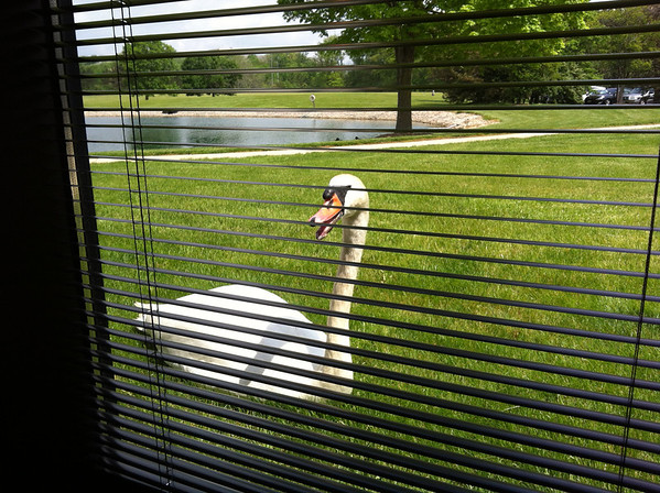 George, the OCLC swan