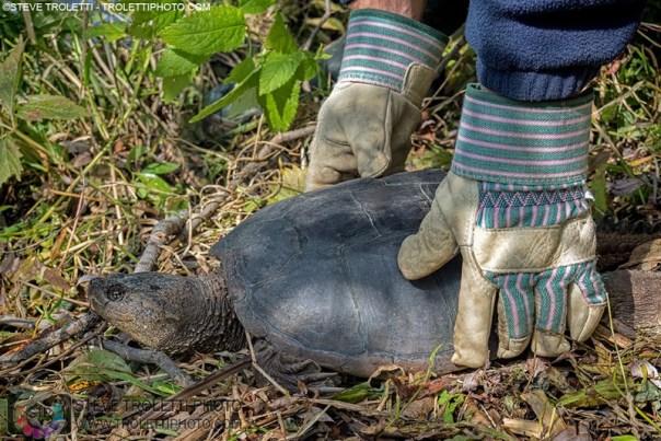 Poutine la tortue serpentine remise en liberté par Denis Fournier - Île de la visitation