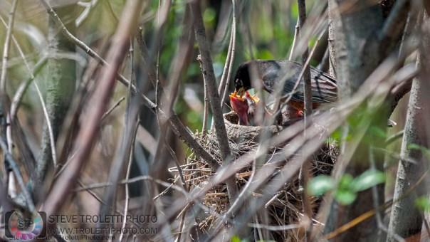 Merle d'Amérique qui nourrie ces oisillons au nid
