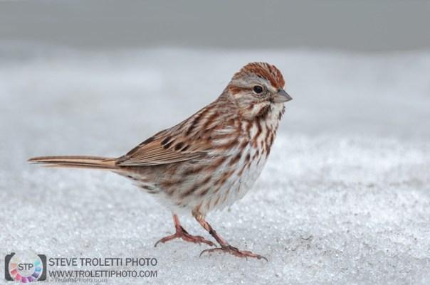 Bruant Chanteur dans la neige