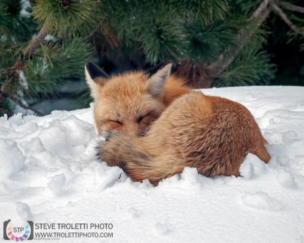 Female Red Fox resting