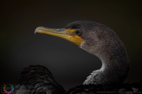 Portrait - Double-crested Cormorant