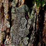 Gray tree frog - Hyla versicolor