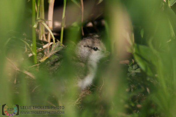 Spotted Sandpiper chick hiding in the tall grass