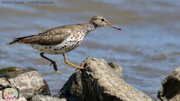 _TRA5737-chevalier-grivele-spotted-yellowleg-sm