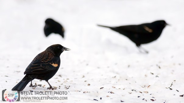 First 2014 Red-winged Blackbirds to arrive