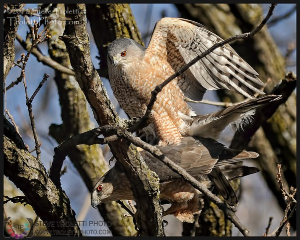 Coopers Hawk Mating