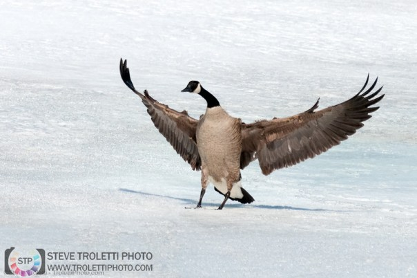 Canada Goose Landing - Ile de la Visitation Nature Park