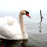 Swan on lake Neuchatel in early April snow fall