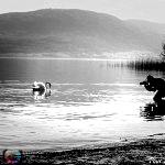Photographing Swans on lake Neuchatel