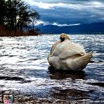 Swan as storm rolls in