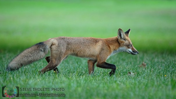Juvenile Red Fox on the Prowl