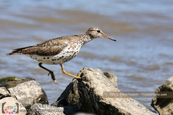 Spotted Sandpiper on the run