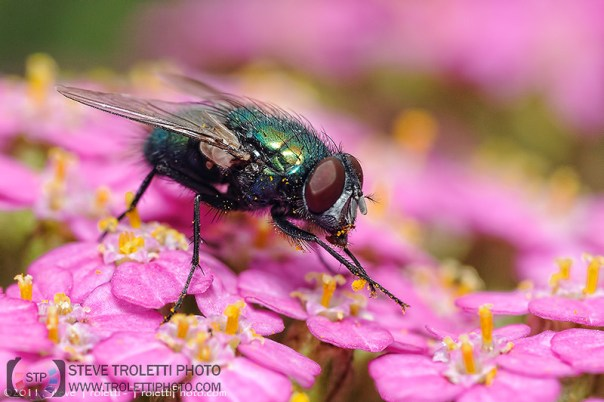 Common Green Fly - by Steve Troletti