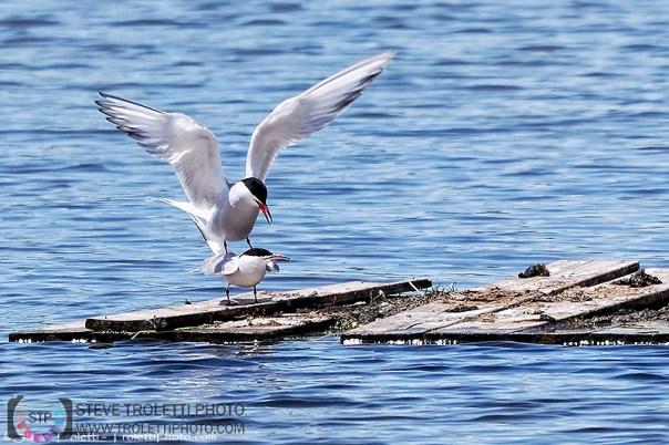 Common Tern Mating / Accouplement de Sterne pierregarin - by Steve Troletti
