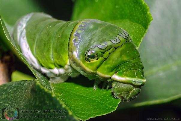 Caterpillar / Chenille