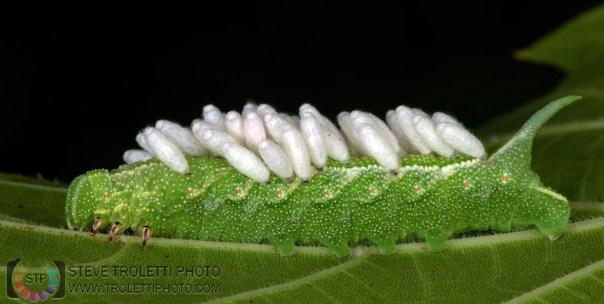 Parasitized Sphingidae caterpillar - Cross Polarized Macro