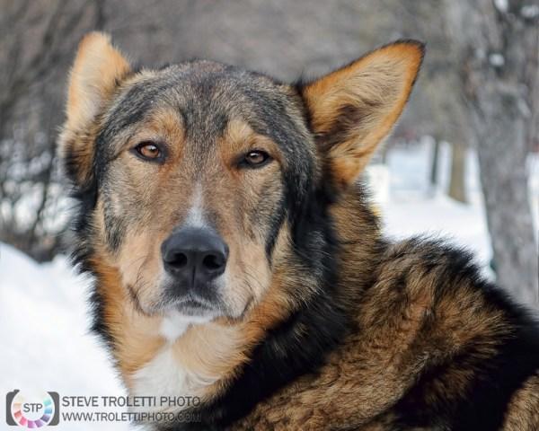 Tempus Aura Studio - Eugenie Robitaille - Steve Troletti Photography: MAMMALS / MAMMIFÈRES &emdash; Fardoche - The Alaskan Sled Dog / Fardoche, le chien de traîneau