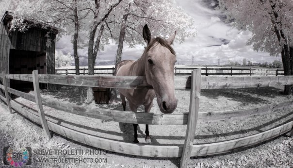 Infrared Horse - Cheval Infrarouge