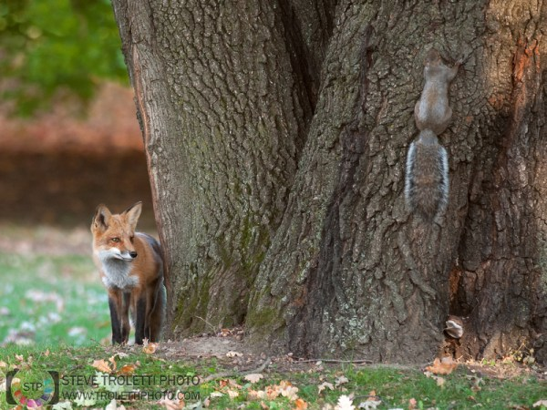 Steve Troletti Editorial, Nature and Wildlife Photographer: MAMMALS / MAMMIFÈRES &emdash; The Fox and Squirrel... / Le renard et l'écureuil ...