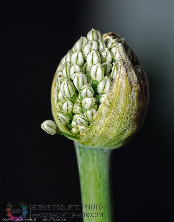 Steve Troletti Editorial, Nature and Wildlife Photographer: Flowers, Plants and Trees /Fleurs, plantes et arbres &emdash; Allium fistulosum - Welsh onion about to flower