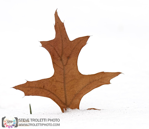 Steve Troletti Photography: PICTURE OF THE DAY / PHOTO DU JOUR &emdash; Happy Leaf in Snow! / Feuille heureuse dans la neige!