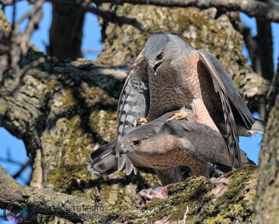 Steve Troletti Photography: PICTURE OF THE DAY / PHOTO DU JOUR &emdash; Cooper's Hawk Mating / Accouplement d'Éperviers de Cooper