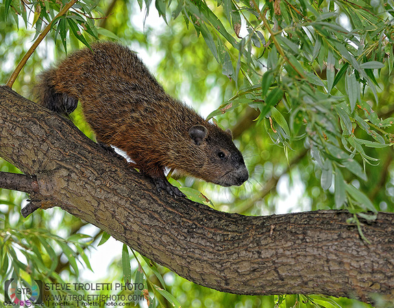 Steve Troletti Photography: MAMMALS / MAMMIFÈRES &emdash; Treehog or Groundhog in a tree? / Marmotte commune