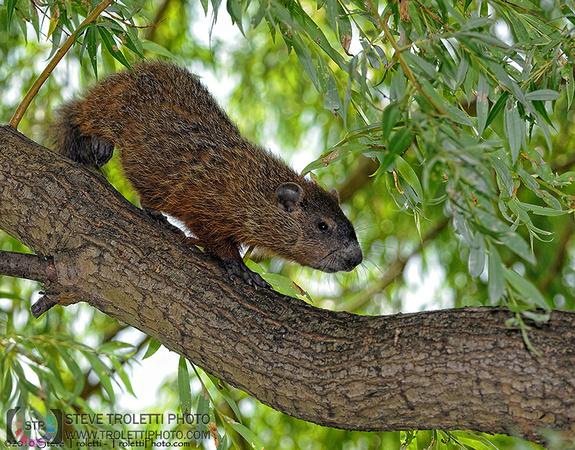 Steve Troletti Photography: MAMMALS / MAMMIFÈRES &emdash; Treehog or Groundhog in a tree? / Marmotte commune